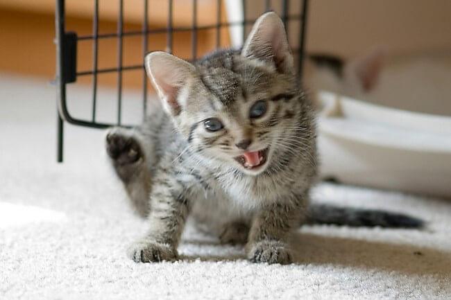 【保存版】1歳までの子猫に対するモグニャンの与え方、給餌量、注意点